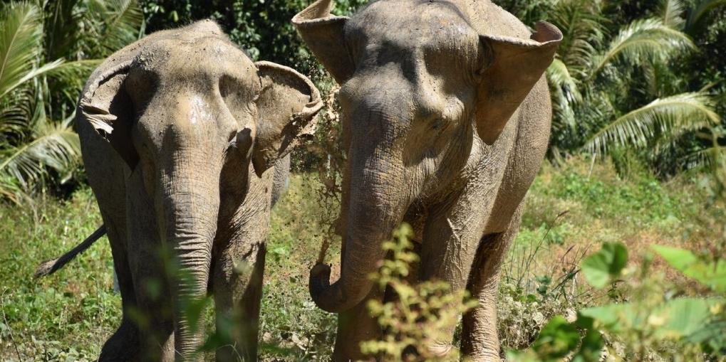 Phuket Thailand Elephants