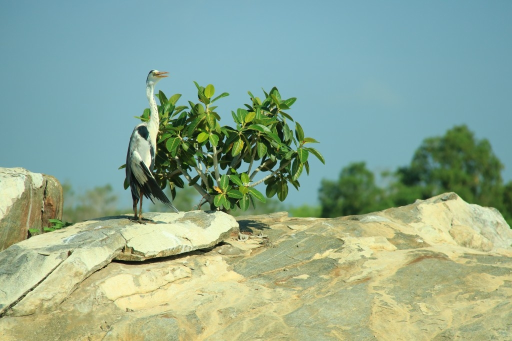 Heron birdwatching at Kalametiya Bird Sanctuary